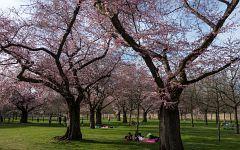 Kirschblüten Schwetzinger Schloß